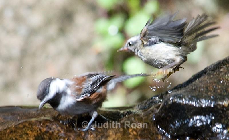 Chestnut-backed Chickadee and Golden-crowned Kinglet - Backyard Bathing Birds