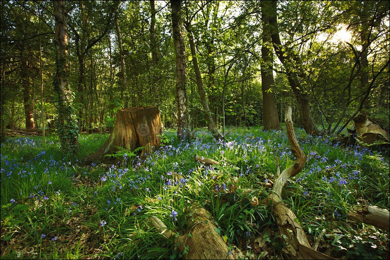 Bluebells in Bloom - Photographs of Woodland & Rivers