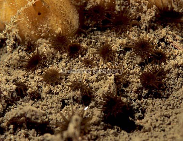 Isozoanthus sulcatus - Anemones (Anthozoa)