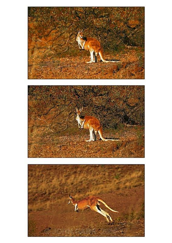 Red Kangaroo Triptych 2 - ANIMAL AND BIRD PHOTOS