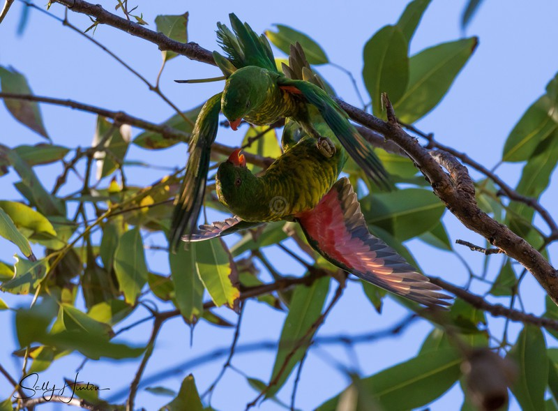 Greeny Pair 4 - Lorikeets (For Sale)