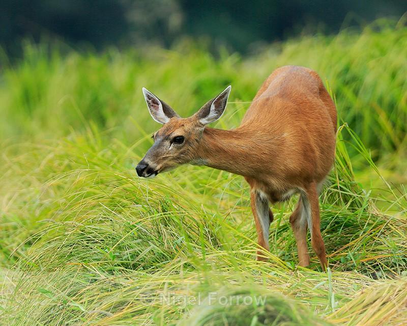 Black-tailed Deer feeding on grass, Knight Inlet, Canada - Deer