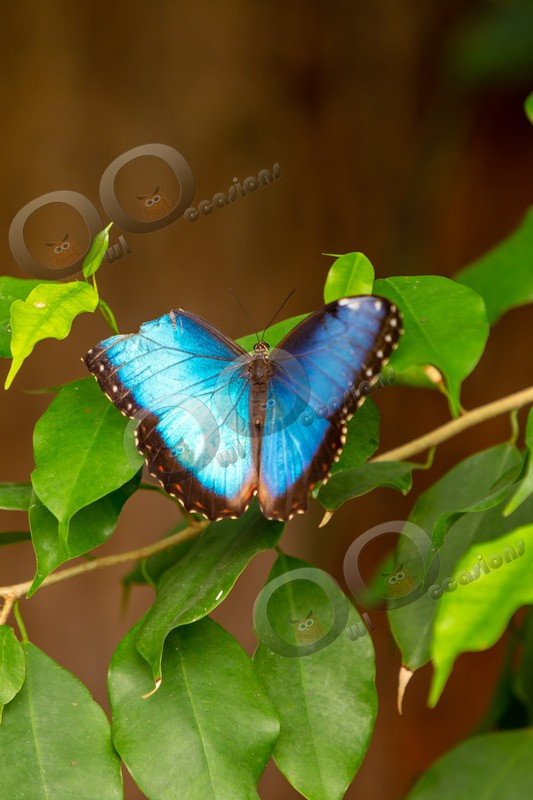 Blue morpho Butterfly Morpho peleides butterfly-5419 - Insects from around the world