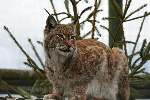 281 PETRA - BIG CATS