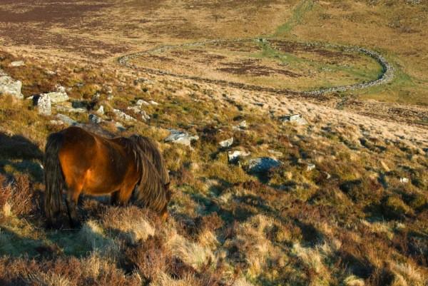 Grimspound Ponies - Dartmoor - Walk Into Prehistory