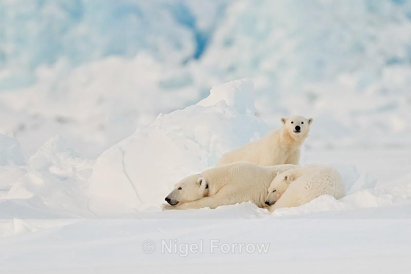 Polar Bear family, Svalbard, Norway - Polar Bear