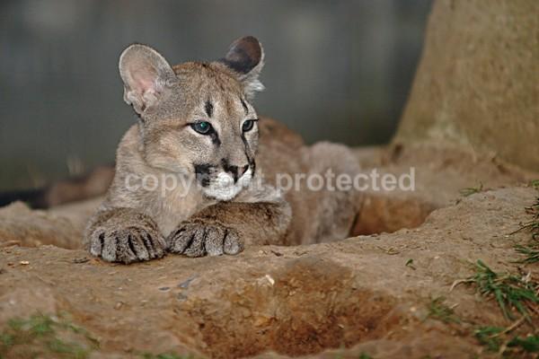 Puma Cub - Cat Survival Trust - Big and Small Wild Cats