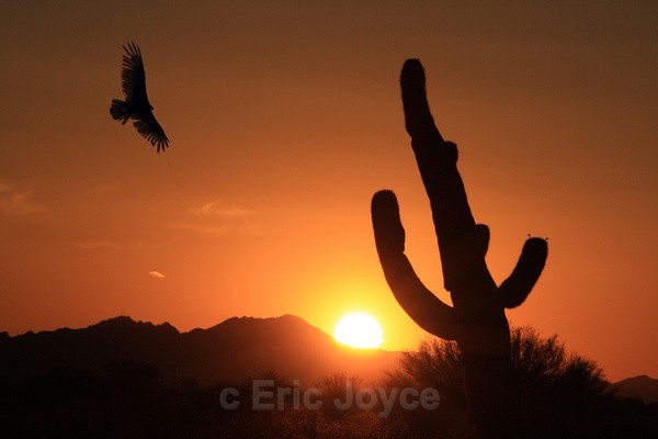 Hawk at Sunset - Tuscon, Arizona