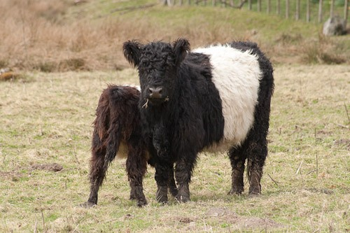 7 - Belted Galloway Cattle
