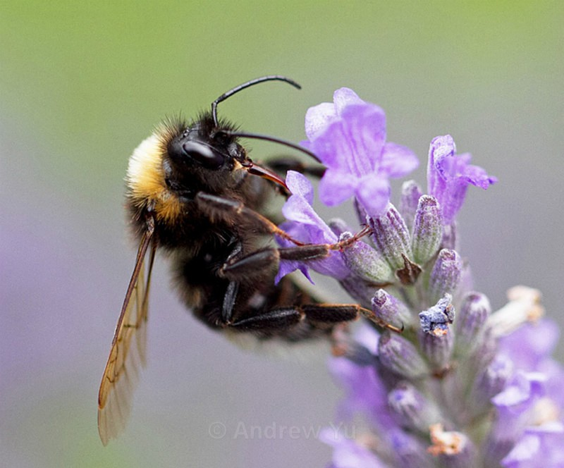 Beautiful Bee - Macro Photography