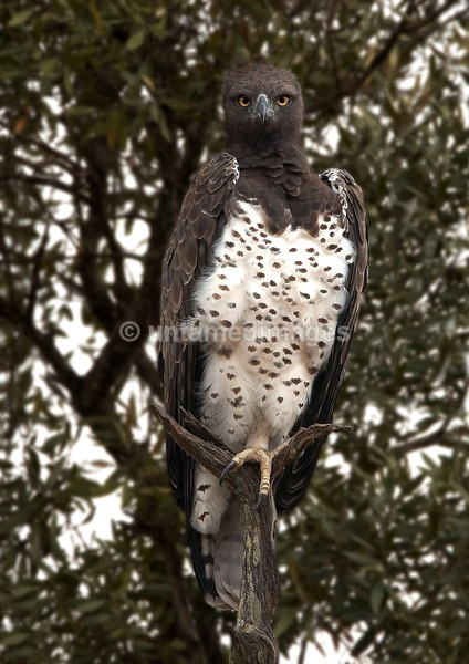 Martial Eagle - Kenya
