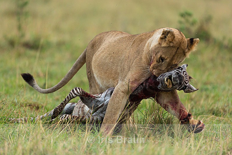 Final Moment - Lion
