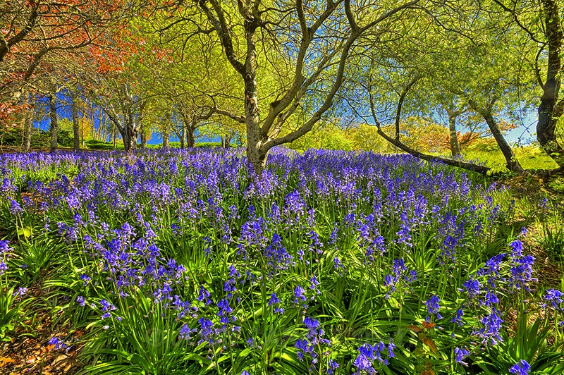 Mt Lofty Blue Bells. - TREES, FLOWERS AND PLANT PHOTOS