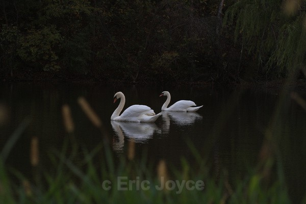 Two Swans III - SW Minnesota