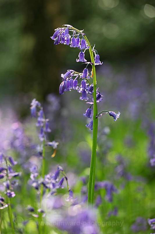 Backlit Bluebell, Houghall wood, Durham.   ref 5228 - County Durham