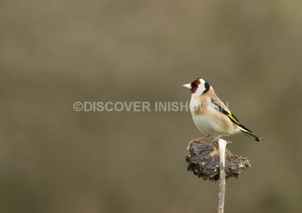 Goldfinch - Wildlife