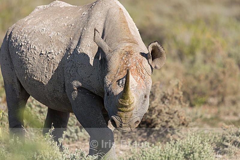 Muddy Rhino - Rhino
