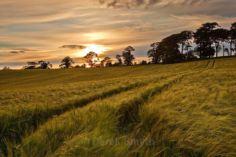 Barley Field Sunset