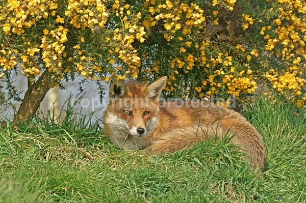 Red Fox - Frodo (british Wildlife Centre) - British Wildlife