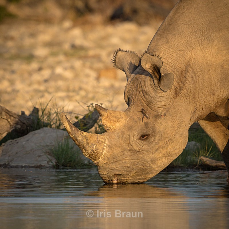A hot day coming to an end - Rhino