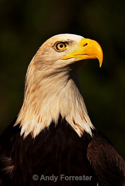 Bald Eage - Falconry