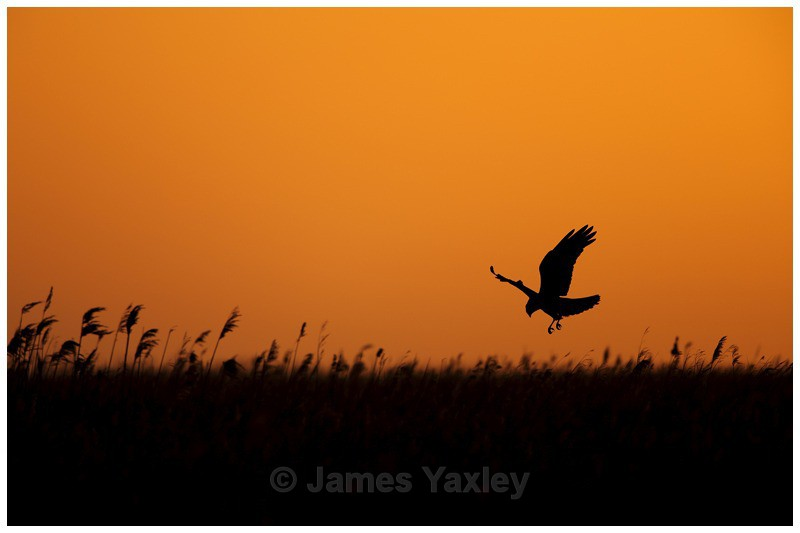 Marsh Harrier hunting above the Reeds - River Scrape & Lake