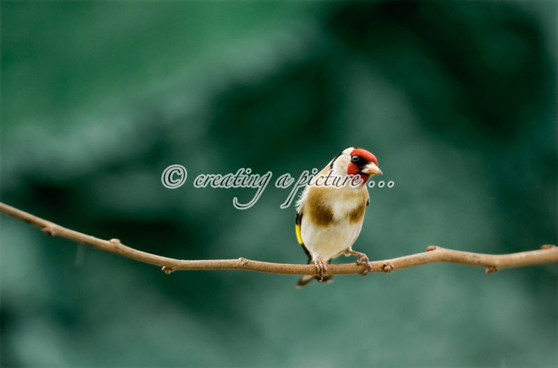 Goldfinch on Branch - Nature