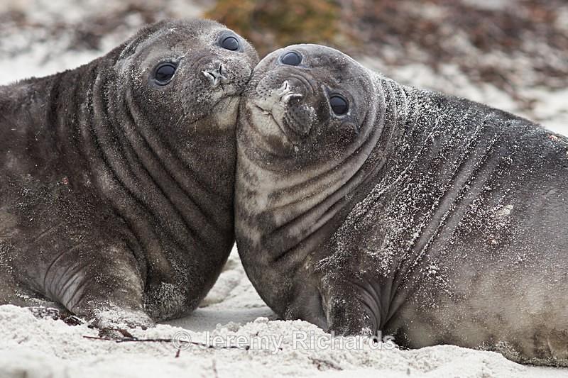 Elephant Seal Pups - Sea Lion Island