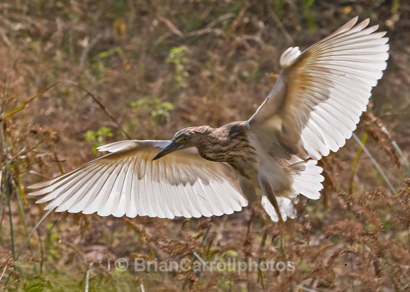 Pond Heron - Indian Tiger Safari Tour 08