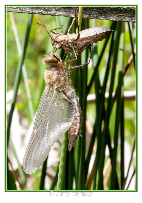 dragonfly Exuvia 5 - Insects & Spiders