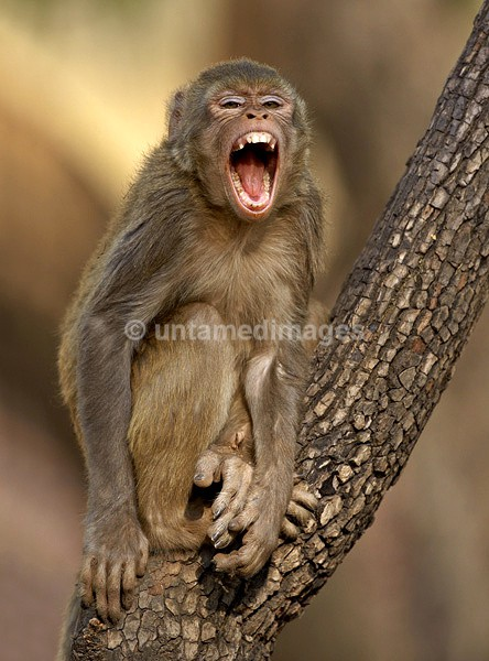 Rhesus Macaque - laughing - India