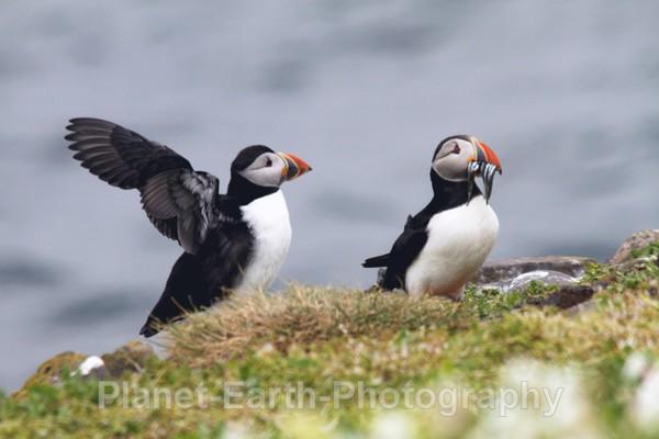 Farne Island Puffins 3 - Puffins
