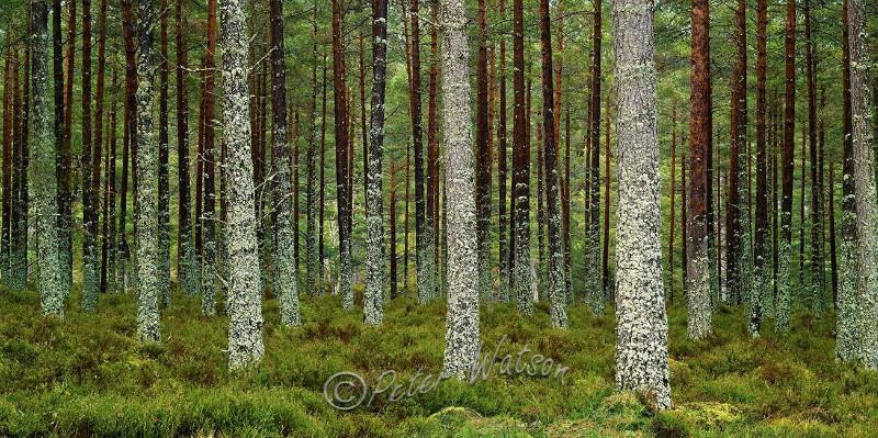 Ballochbuie Forest Aberdeenshire Scotland - Forest & Woodland