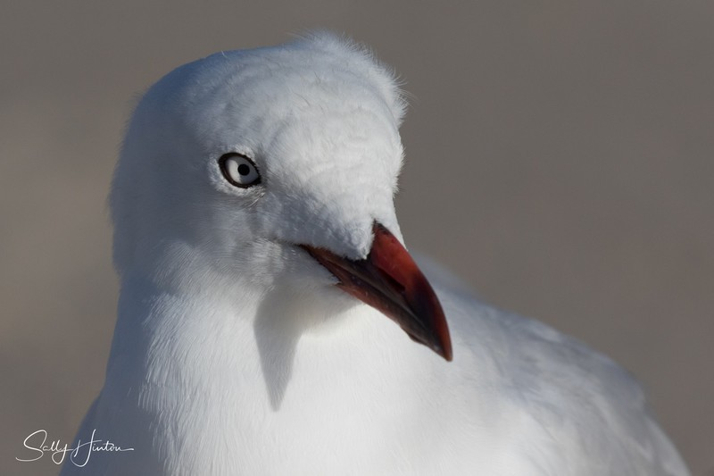 Gull Youngster - Silver Gulls 2018 (For Sale)