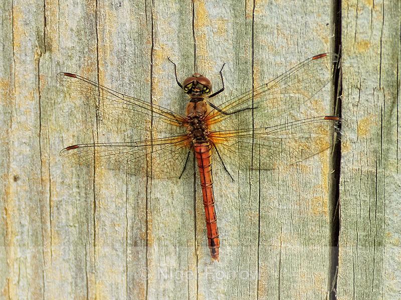 Ruddy Darter (female), Otmoor - INSECTS