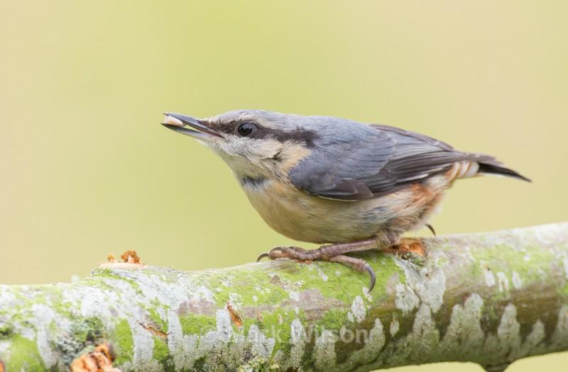 Nuthatch - Garden birds