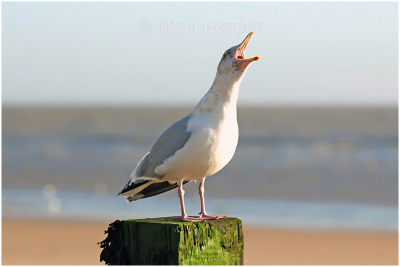 Shouting the Odds - Gulls