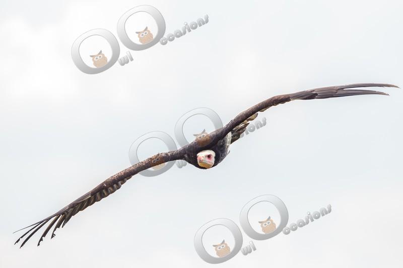 White-headed Vulture Trigonoceps occipitalis-5801 - BoP from around the world