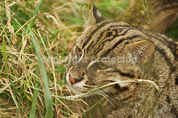 Fishing Cat - Cat Survival Trust - Big and Small Wild Cats
