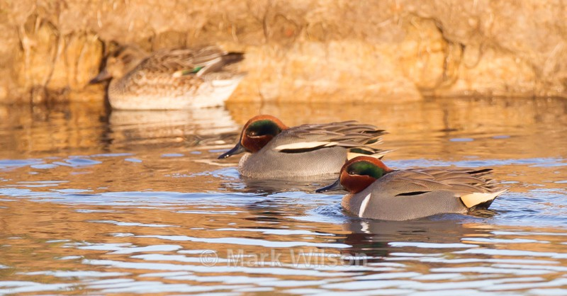 Green-winged and Common Teal - Swans, Geese & Ducks