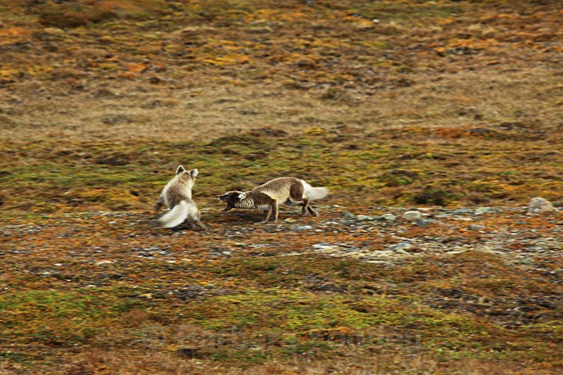 Arctic foxes 3816 - Wildlife