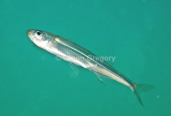 Atherina presbyter - Fishes – bony and cartilagous (Pisces)