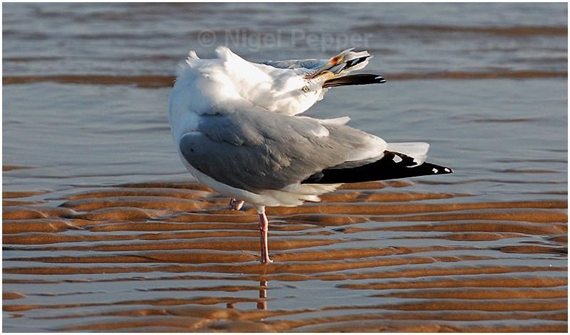 Preening - Leggy the Herring Gull