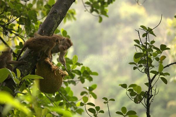 Macaque Monkey in Jungle in Ella Sri Lanka 1 - Sri Lanka wildlife, people & places