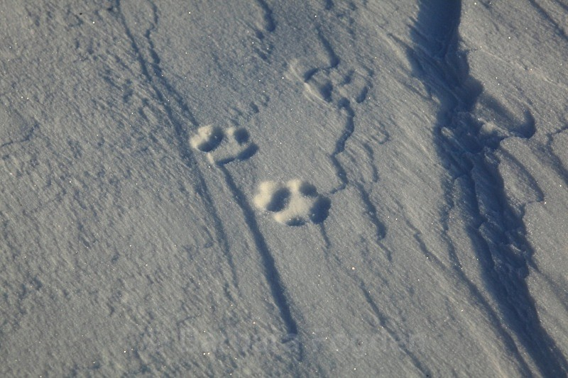 Arctic fox tracks 9884 - Winter in the daylight