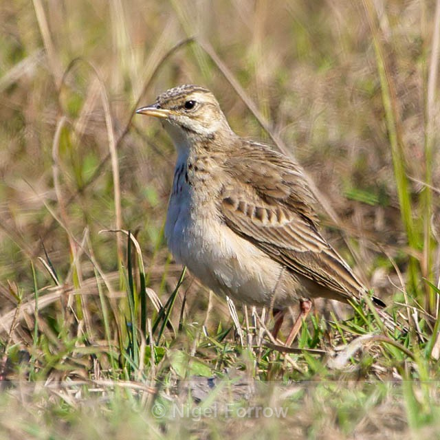 Possible African Pipit? - Unidentified Birds