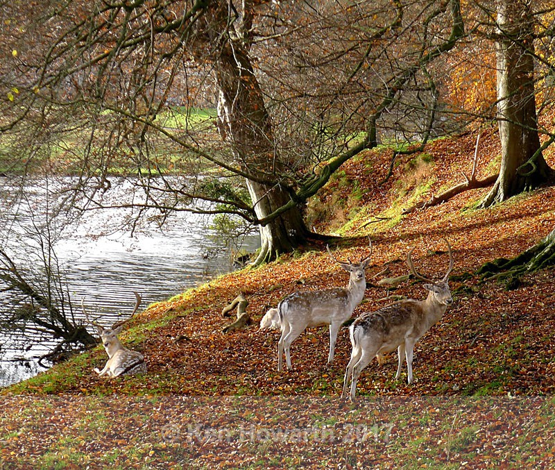 Fallow deer, Dallam Park, Milnthorpe - Natural World