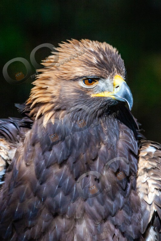 golden eagle Aquila chrysaetos-717804010426 - BoP from around the world