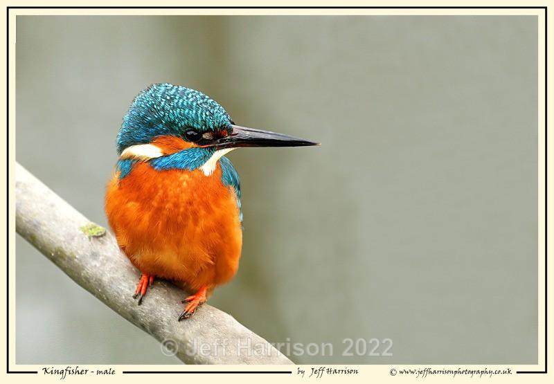'Kingfisher - male' - Image Kf 003 - Kingfishers