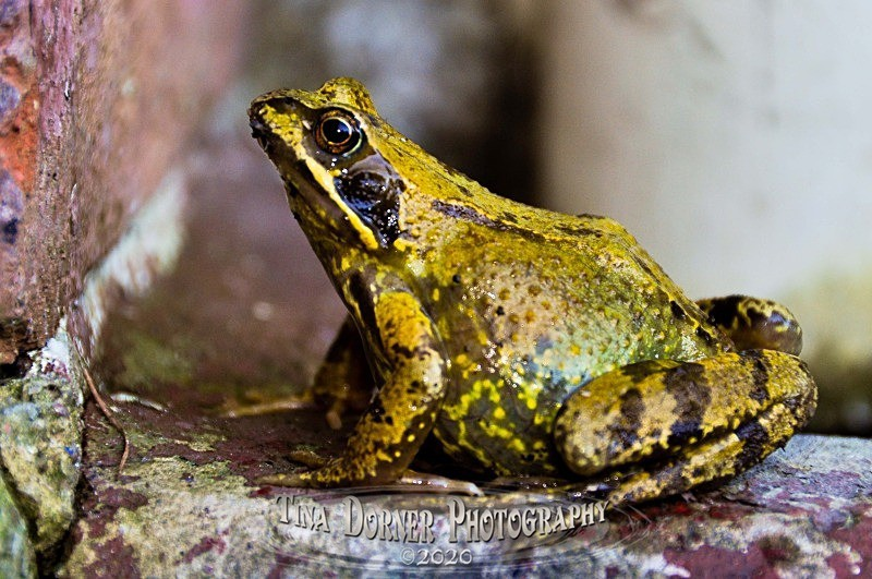 Frog about to jump. from Animal Portraits Portfolio by Tina Dorner Photography